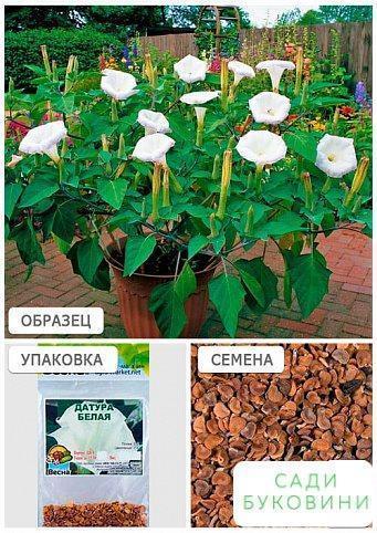 Датура 'Белая' (Зипер) ТМ 'Весна' 2г