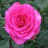 Роза плетистая Маритим