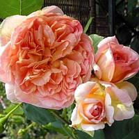 Роза плетистая Папи Делбард, фото 1