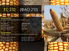 Гибрид кукурузы Вудсток ГС 210 - ФАО 210 (2019)