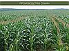 Гибрид кукурузы венгерской селекции Вудсток ГС 210 - ФАО 210 (2019), фото 3