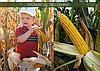 Гибрид кукурузы венгерской селекции Вудсток ГС 210 - ФАО 210 (2019), фото 5