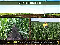 Гибрид импортной кукурузы Вудсток ТК 195 - ФАО 230 (2019), фото 3