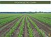 Гибрид Кукурузы Вудсток ТК 260 - ФАО 260 (2019), фото 3