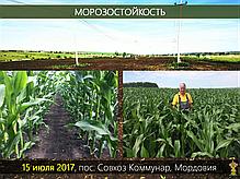 Гибрид кукурузы Вудсток Шаролта (Sarolta) - ФАО 290 (2019), фото 3