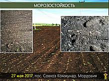 Гибрид кукурузы Вудсток ГС 240 - ФАО 240 (2019), фото 3