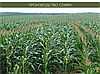 Гибрид кукурузы Вудсток ГС 240 - ФАО 240 (2019), фото 4