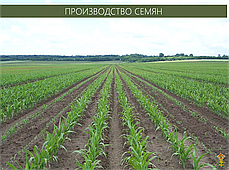 Гибрид кукурузы ГС 330 - ФАО 330 (2019), фото 3
