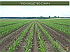 Гибрид кукурузы ГС 370 - ФАО 350 (2019), фото 2
