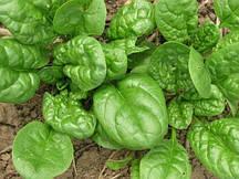 Семена шпината Матадор 100г Агролиния 950555