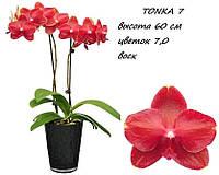 Подростки орхидеи. Сорт Tonka 7 размер 1.7 без цветов
