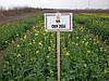 Озимый рапс ГКХ 2624. Гибрид рапса высокоурожайный и устойчив к стрессам. 1 п.ед.(3 га). 295-310 дней. Венгрия