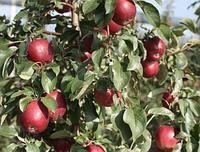 Яблоня Моди. (Б7-35). Зимний сорт.  , фото 1