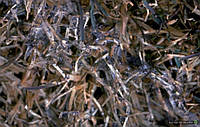 На озимых зерновых прогрессирует новая болезнь
