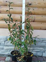 Саженцы Гуми 3 года (h до 1м), фото 3
