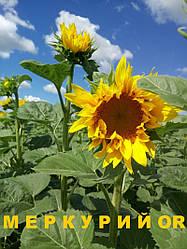 Семена подсолнуха Меркурий OR / Насіння соняшнику Меркурій OR