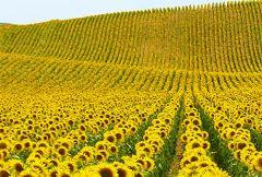 Семена подсолнуха Альзан / Насіння соняшнику Альзан (101 дн.) Альфа Насіння