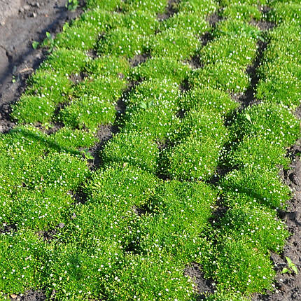Мшанка шиловидная (Ирландский мох), фото 2