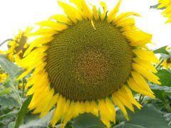 Семена подсолнуха Анцилла / Насіння соняшнику Анцилла (106 дн.) Альфа Насіння
