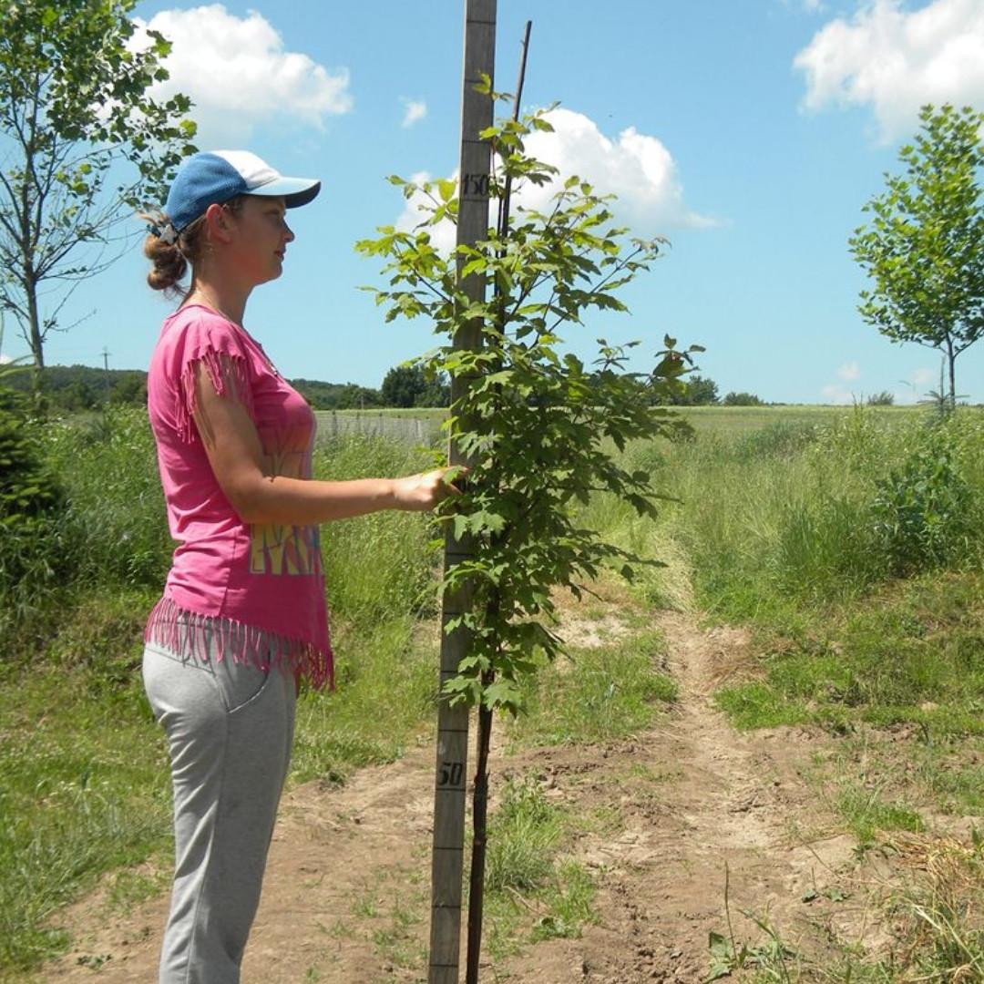 Клен серый, Acer griseum, 160 см