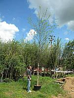 Береза чорная, Betula nigra, 500 см