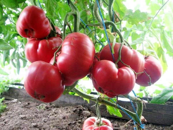 Спелые плоды томата
