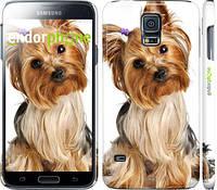 """Чехол на Samsung Galaxy S5 Duos SM G900FD Йоркширский терьер с хвостиком """"930c-62"""""""