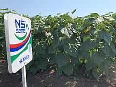 Семена подсолнечника НС КНЕЗ (Экстра)