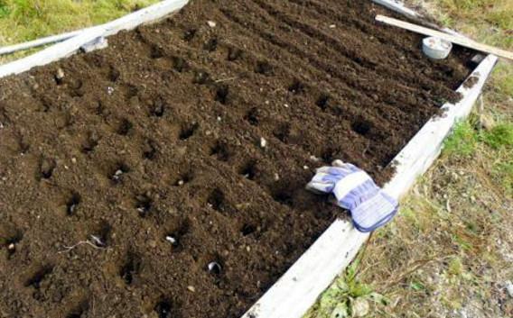 Выращивание чеснока бульбочками