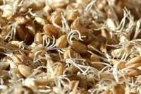 Солодовые ростки