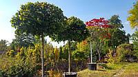 Клен остролистый Acer platanoides 'Globosum' C120L  20-25 h4м
