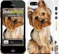 """Чехол на iPhone 5s Йоркширский терьер с хвостиком """"930c-21"""""""