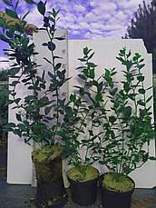 Патриот саженцы голубики 3хлетние, фото 3