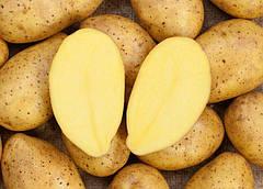 Характеристика картофеля сорт Зекура