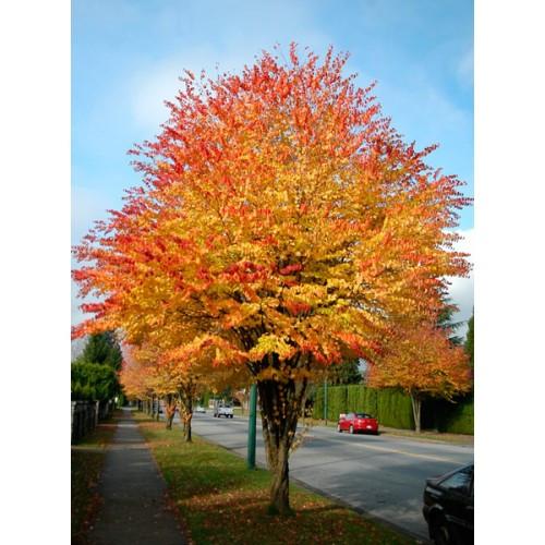 Саджанці Багряника японського (Пряничне дерево)