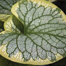 Брунера King's Ransom 1 рік, Брунера Кингс Рэнсом, Brunnera macrophylla King's Ransom