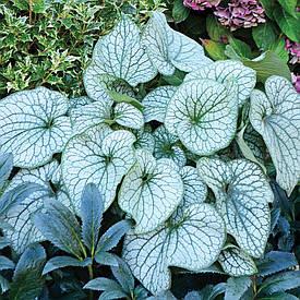 Брунера Alexander's Great 1 рік, Брунера Александерс Грейт, Brunnera macrophylla Alexander's Great