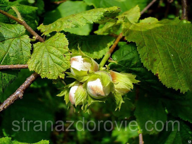 Лесной орех, лещина, орешина – деревья, на которых растет фундук.