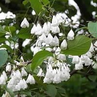 Саджанці Галезія каролінської (ландишеве дерево), фото 1