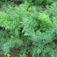 Укроп Салют семена сорта укропа для выгонки на зелень и переработки