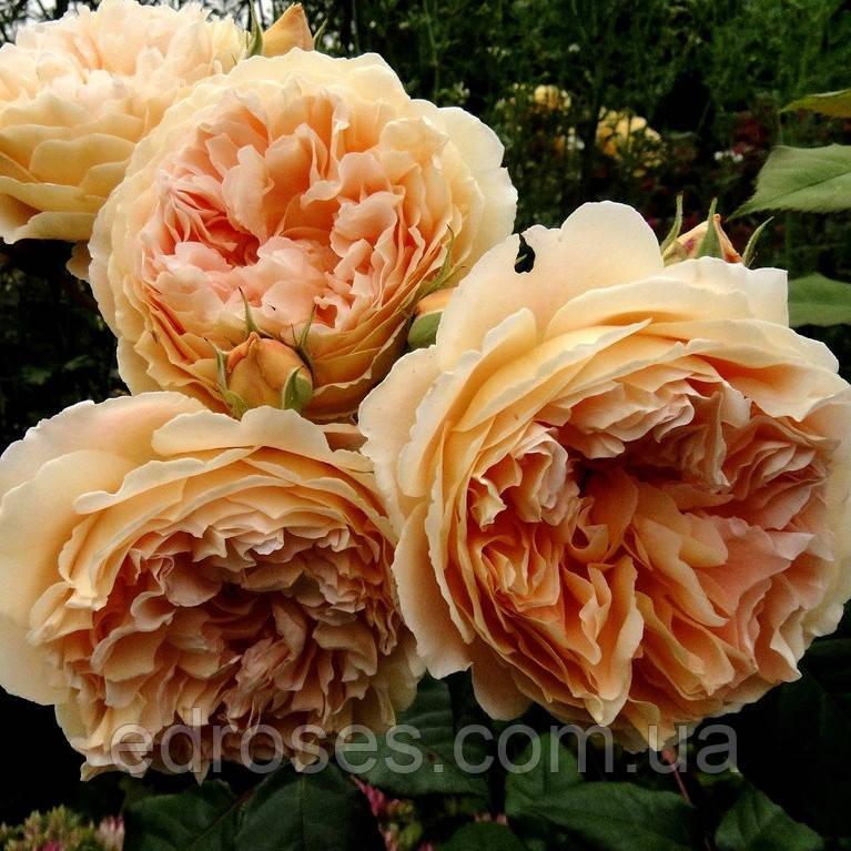Краун Принцесса Маргарет ( Crown Princess Margareta® )