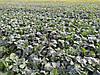 Врожайний гібрид ярого ріпака Мажор РС 33-37ц/га. Ярий ріпак стійкий до хвороб та гліфосату 4л/га. 80-90 днів. 1 п.о. на 3 гектара. Врожай 2018 / 2019 року.