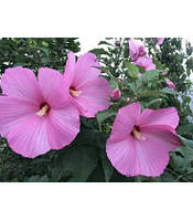 Гибискус травянистый фиолетовый   Гібіскус травянистий фіолетовий (ЗКС; горшок 0,7 л)