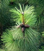 Сосна жёлтая | Сосна жовта | Pinus ponderosa (ЗКС; контейнер 0,7 л)