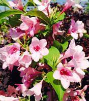 Вейгелацветущая розовая | Вейгела квітуча рожева (ЗКС; горшок 2 л)