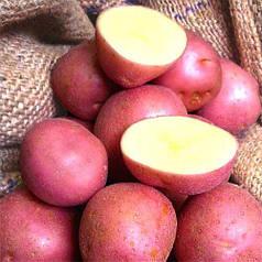Семенной картофель Инфинити 1кг IPM POTATO