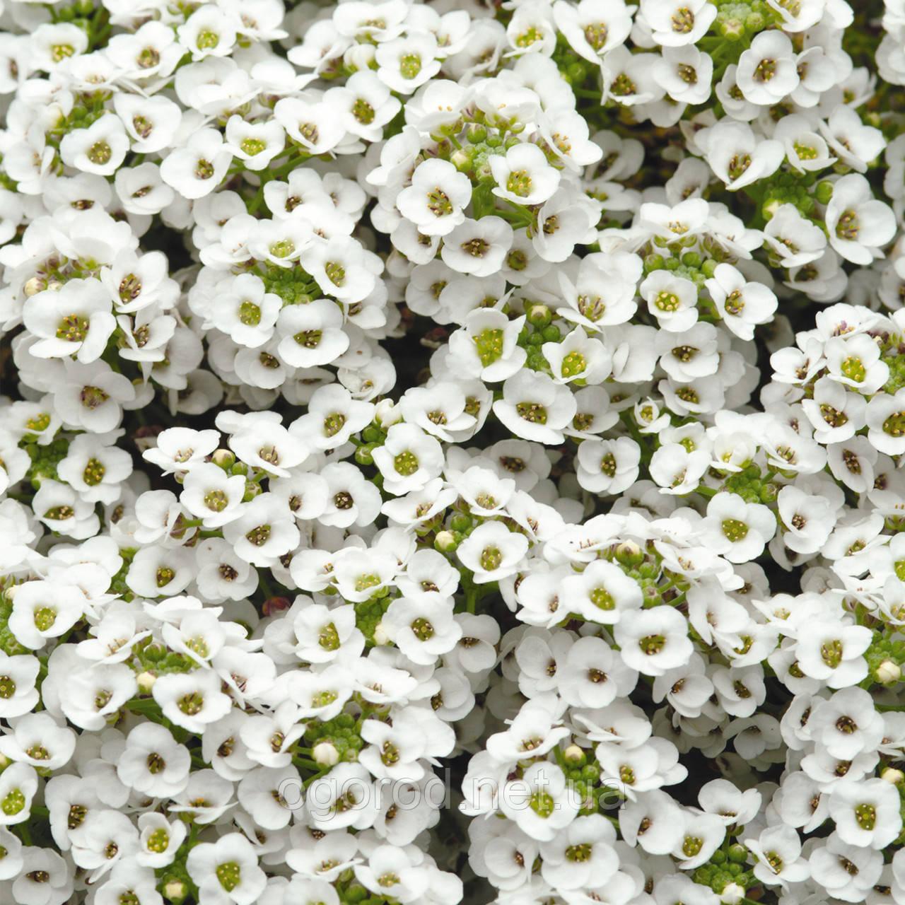 Семена алиссум (Lobularia) Snow Crystals 5000 шт Pan American