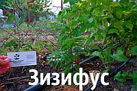 Зизифус саженцы (унаби, ююба, китайский финик, Zízíphus jujúba) зізіфус саджанці