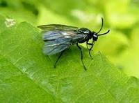 Ярова муха