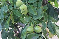 Саджанці грецького горіха Єфрем-7